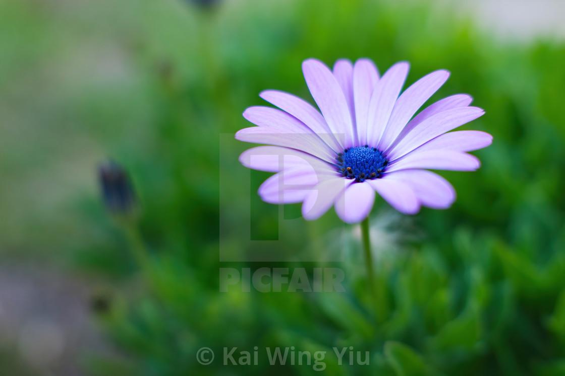 """""""The daisy"""" stock image"""