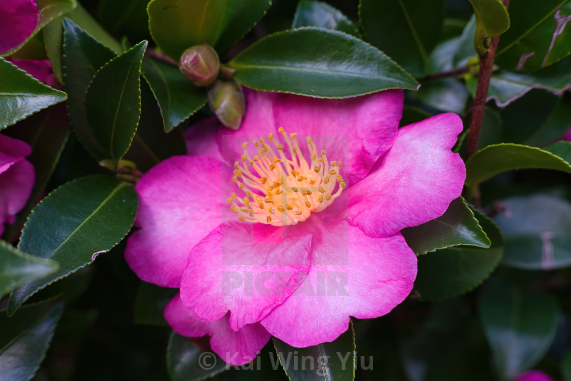 """The Camellia"" stock image"