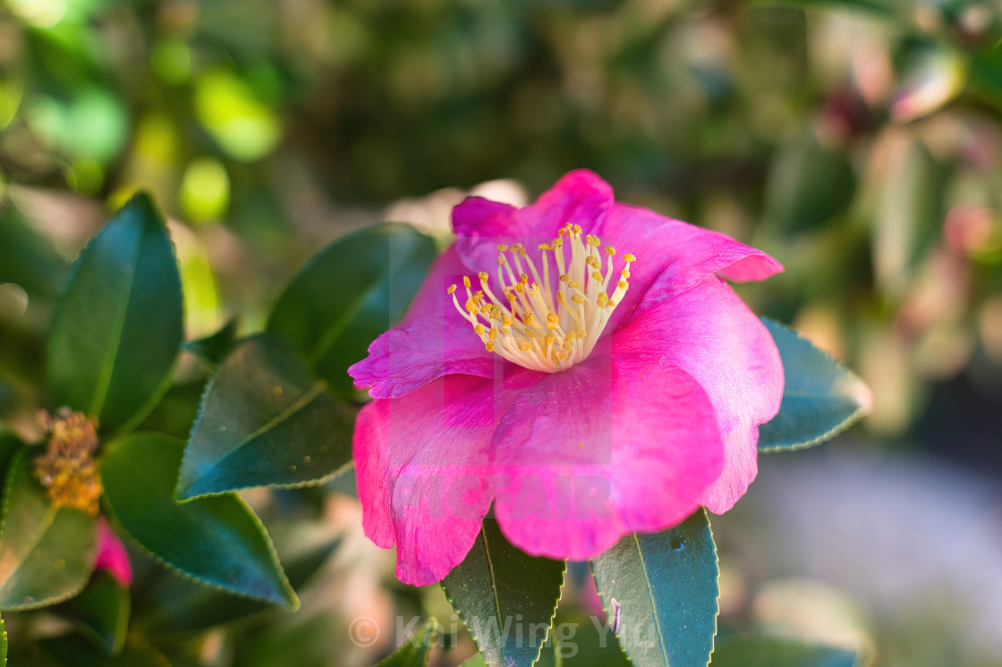 """The camellia under the autumn sun"" stock image"
