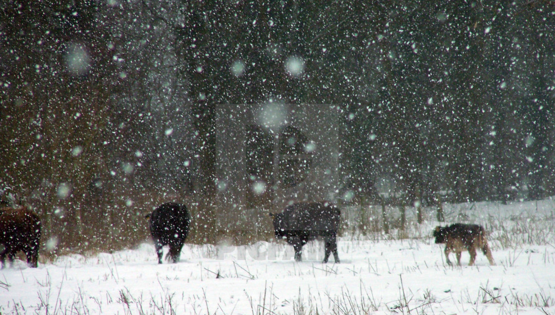 """""""Aurochs in the Snow"""" stock image"""