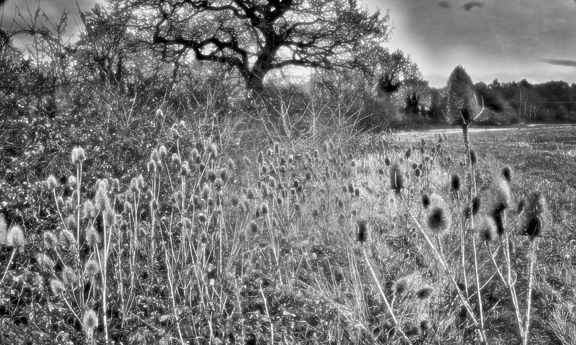 Teazles - Black & White