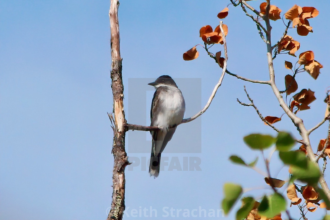 """Eastern Kingbird"" stock image"