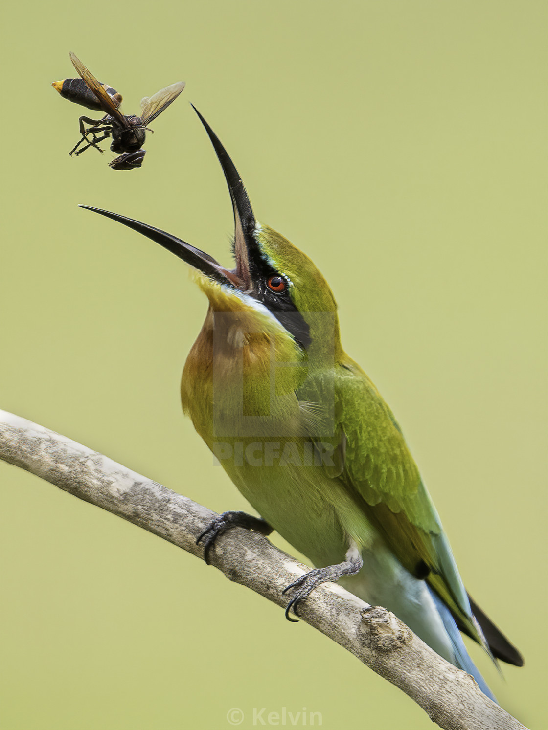 Blue tailed bee eater tossing a wasp