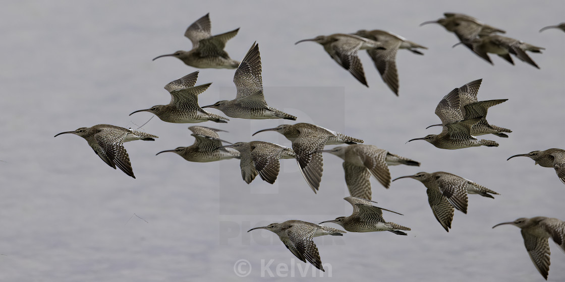 """Flock of Whimbrels in flight"" stock image"