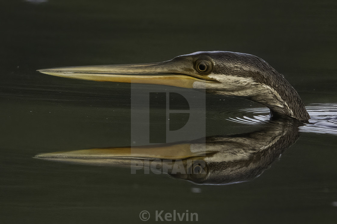 """""""Reflection of the oriental darter"""" stock image"""