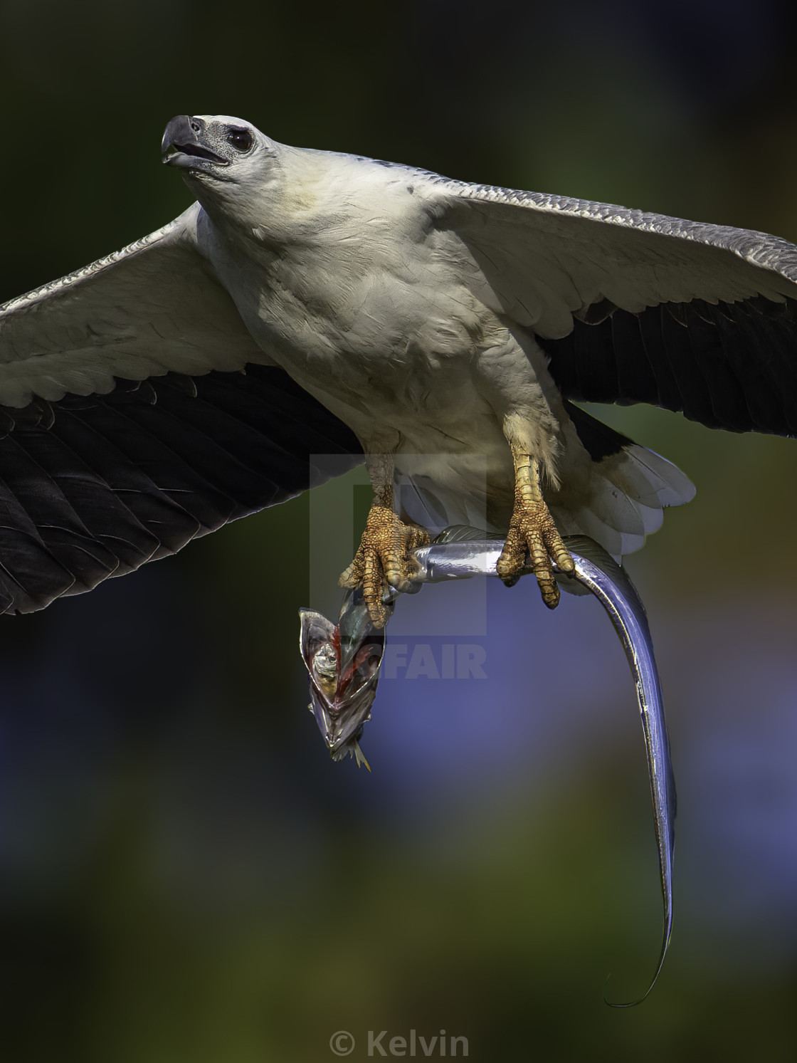 """""""White bellied sea eagle with a big ribbon fish"""" stock image"""