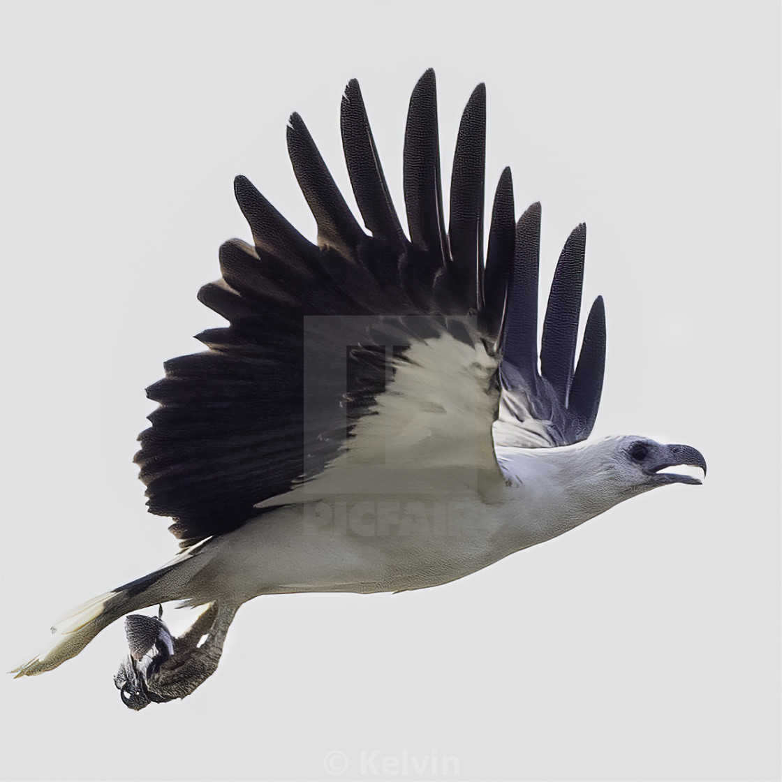 """""""White bellied sea eagle with a small fish"""" stock image"""