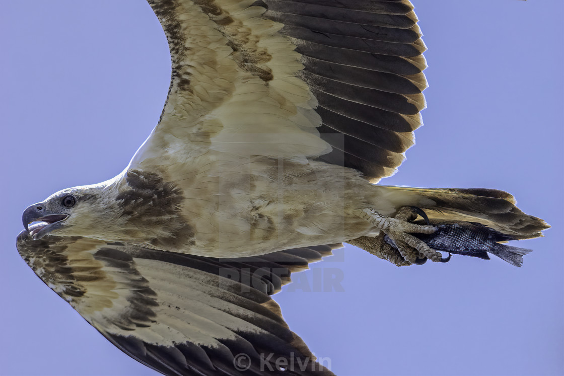 """""""Juvenile white bellied sea eagle with a fish"""" stock image"""