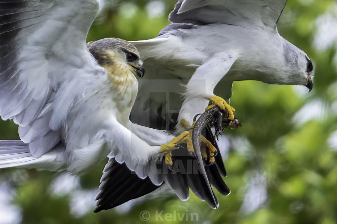 """""""Black wing kites"""" stock image"""
