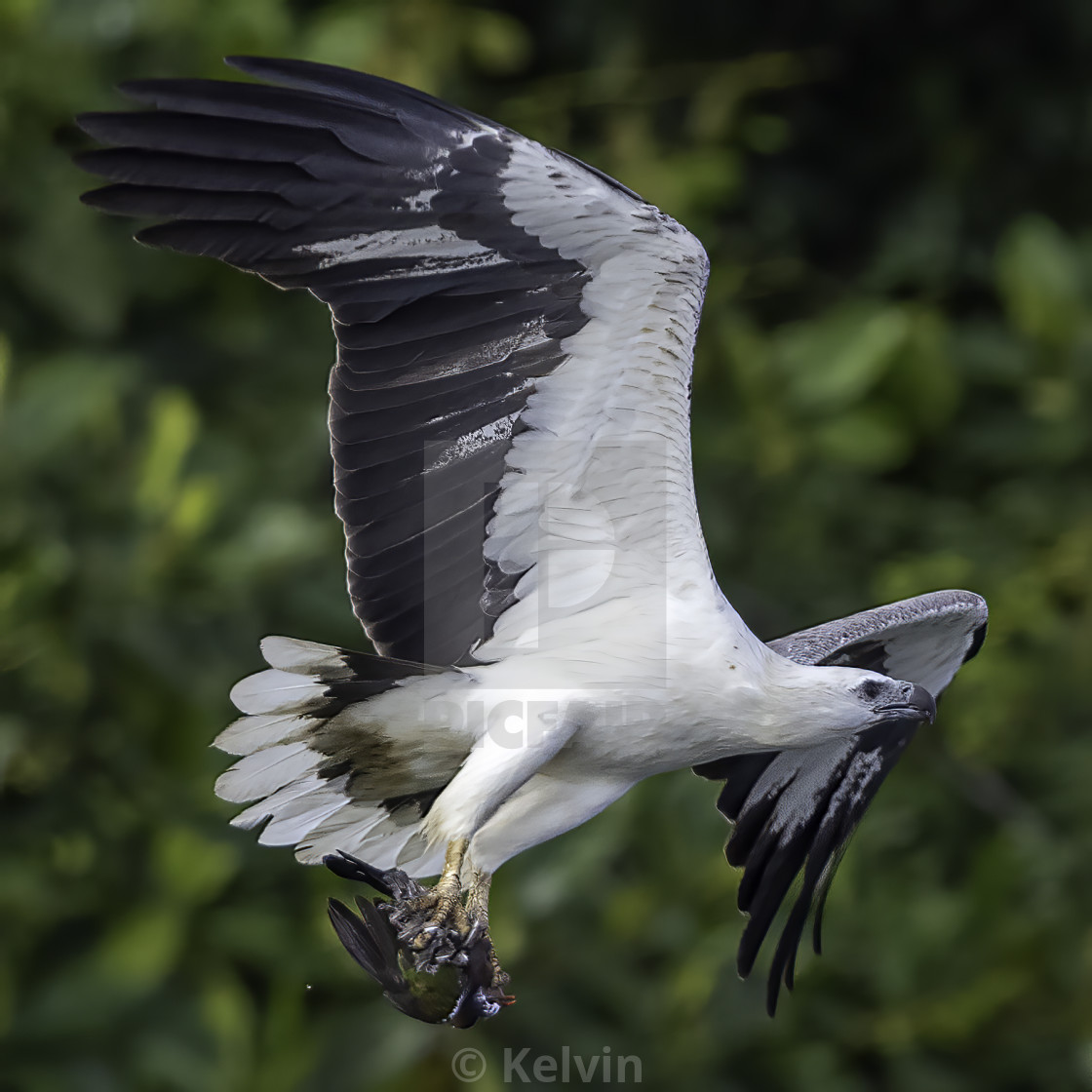 """""""White bellied sea eagle with a dead pink neck green pigeon"""" stock image"""