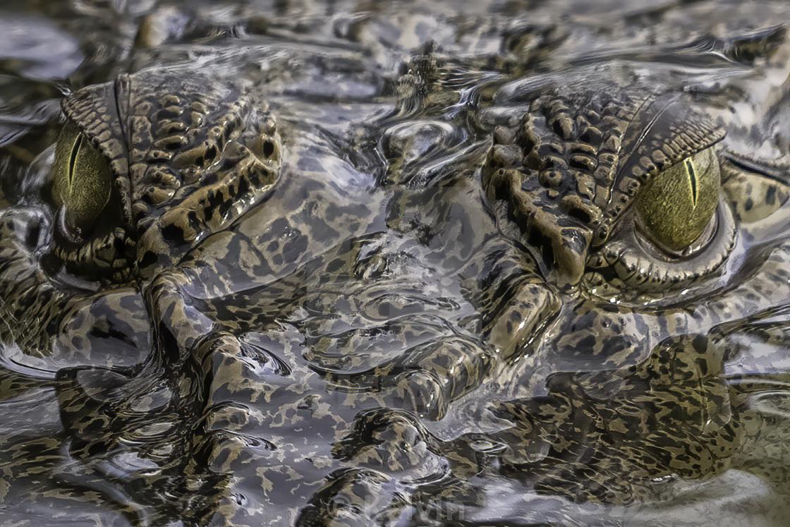 Staring at the crocodile's eyes