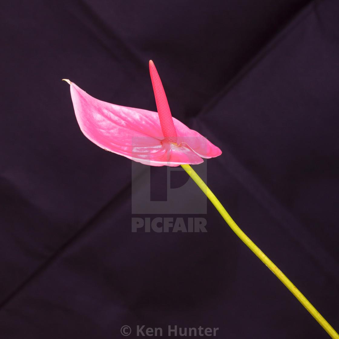 """Pink Anthurium flower on stem"" stock image"