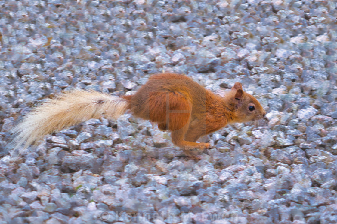 """""""Red squirrel running"""" stock image"""