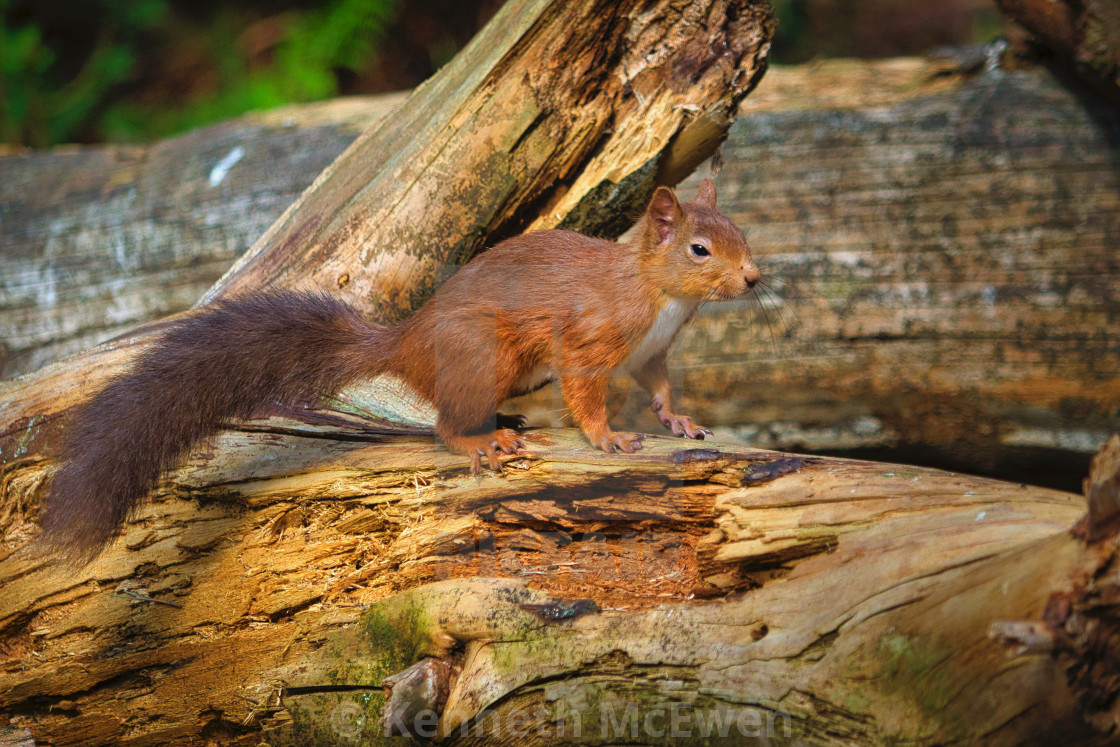 """Red squirrel in the wood"" stock image"