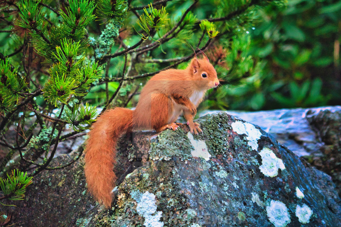 """Red squirrel on forest rock"" stock image"