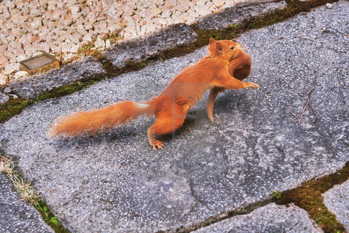 """""""Moving home is hard work even for a squirrel"""" stock image"""