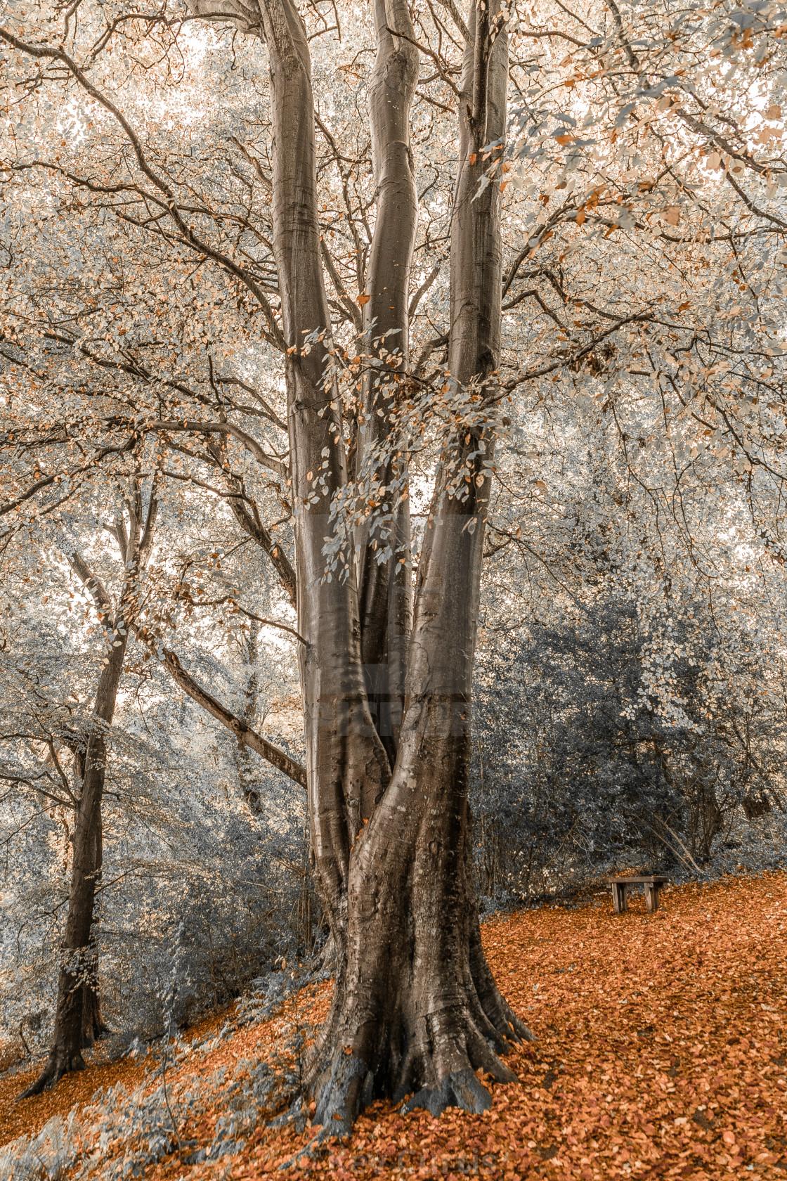 """Triple trunk tree"" stock image"