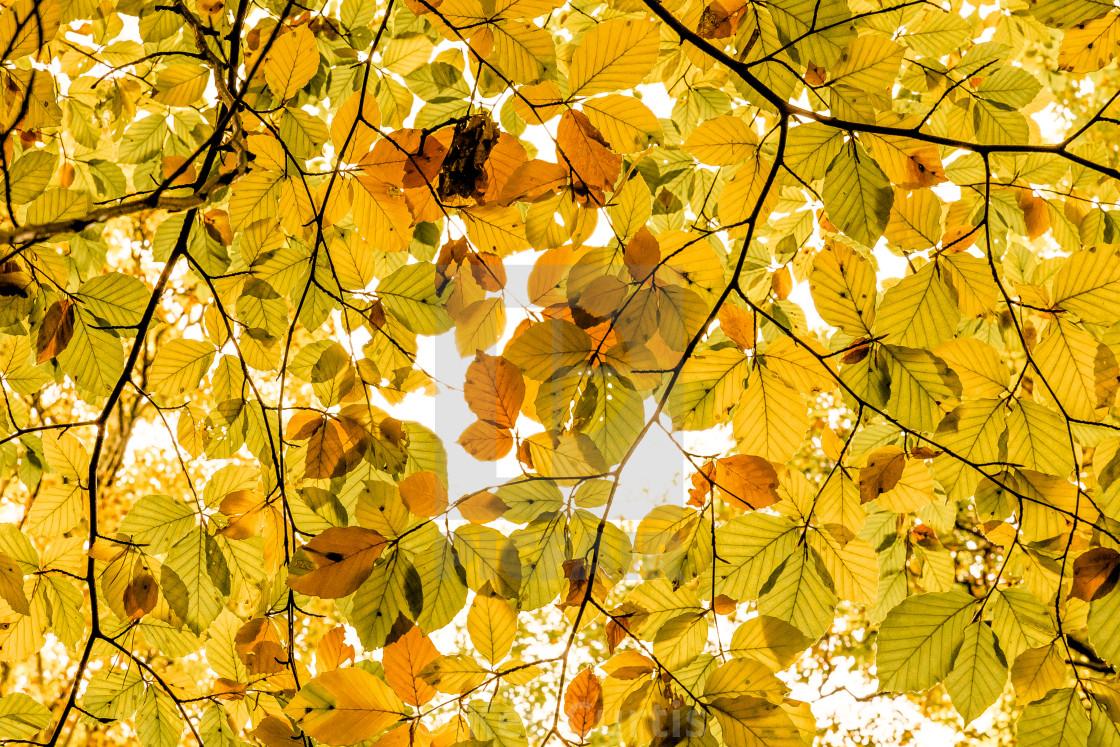 """Golden autumn leaves"" stock image"