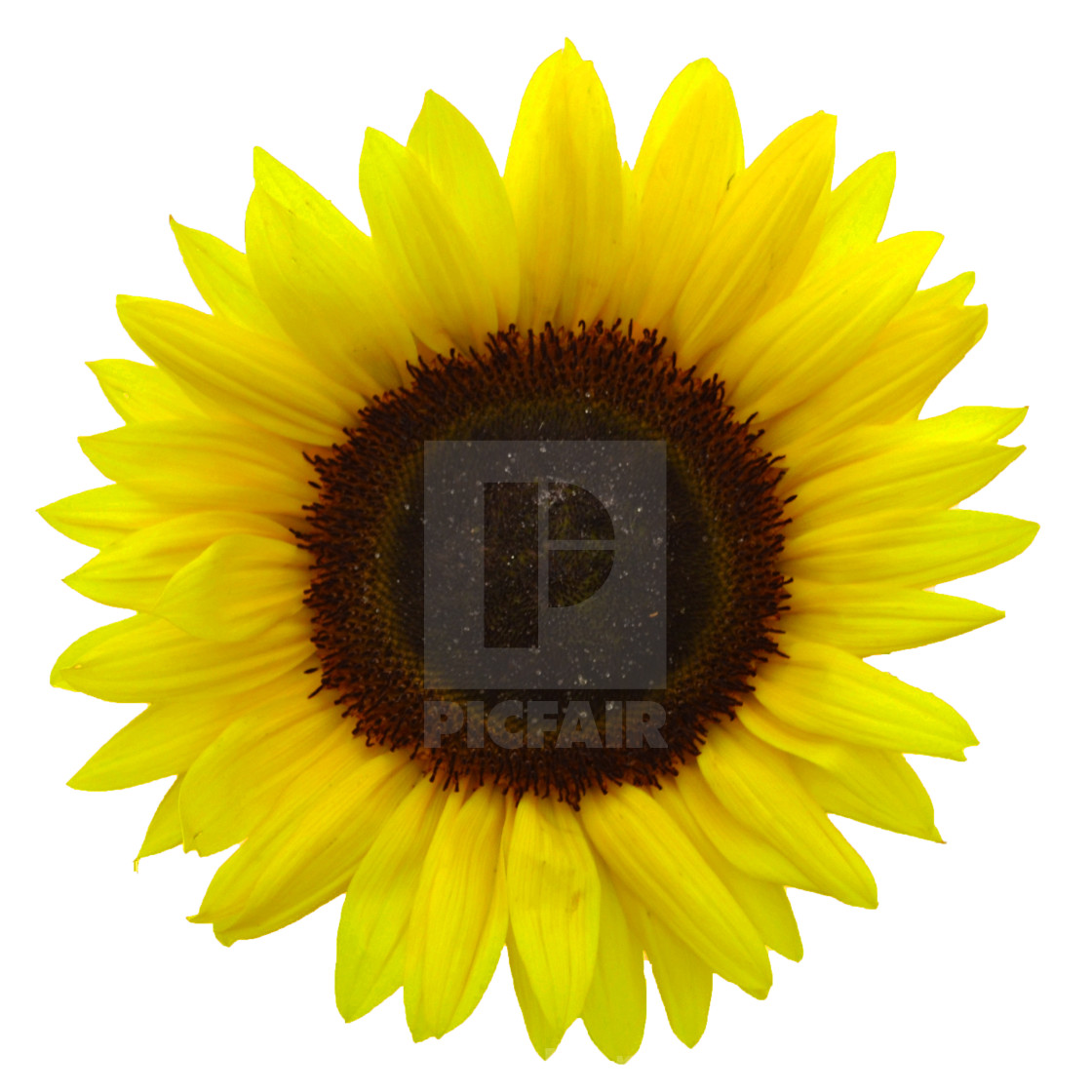 """Sunflower Bright"" stock image"