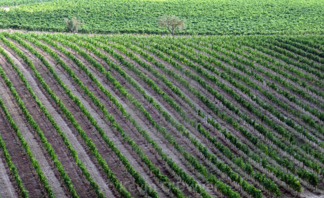"""Italian Vineyard"" stock image"