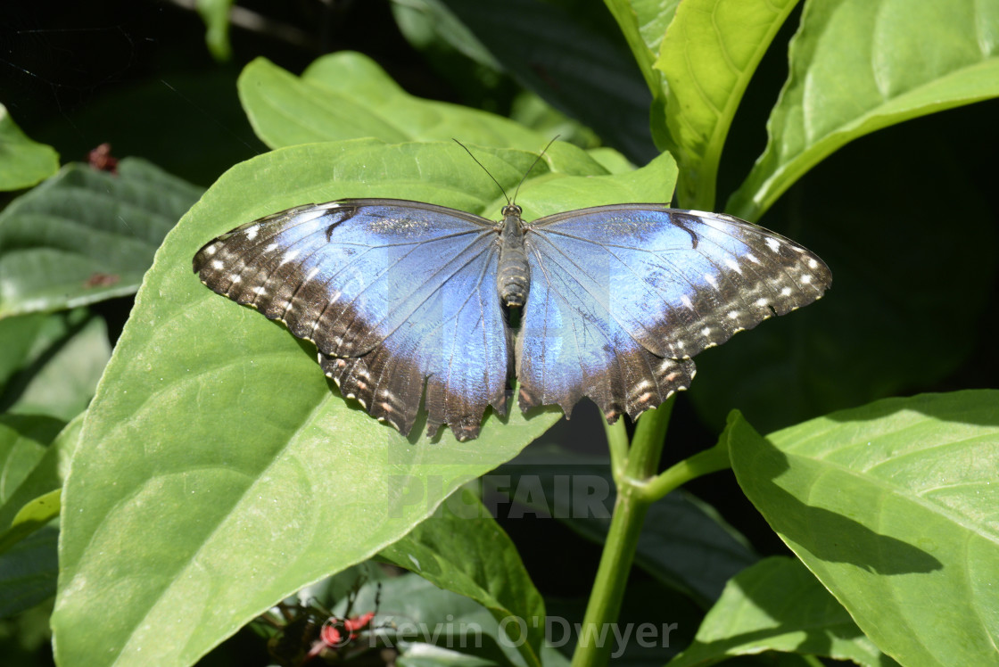 """Iridescent Blue Butterfly at Fairchild Gardens"" stock image"