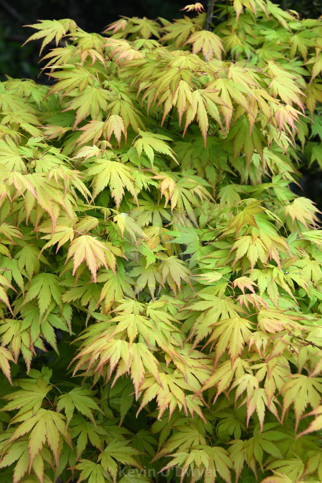 """""""Japanese Maple. Close-up"""" stock image"""