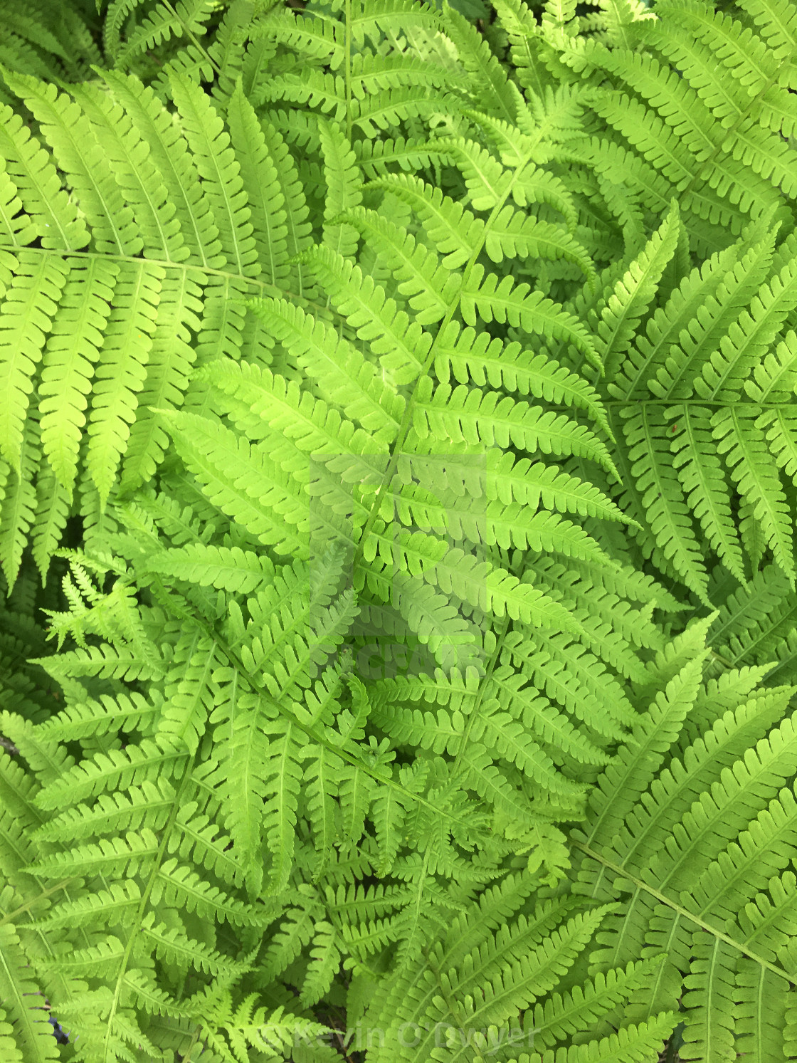"""Fern close-up"" stock image"