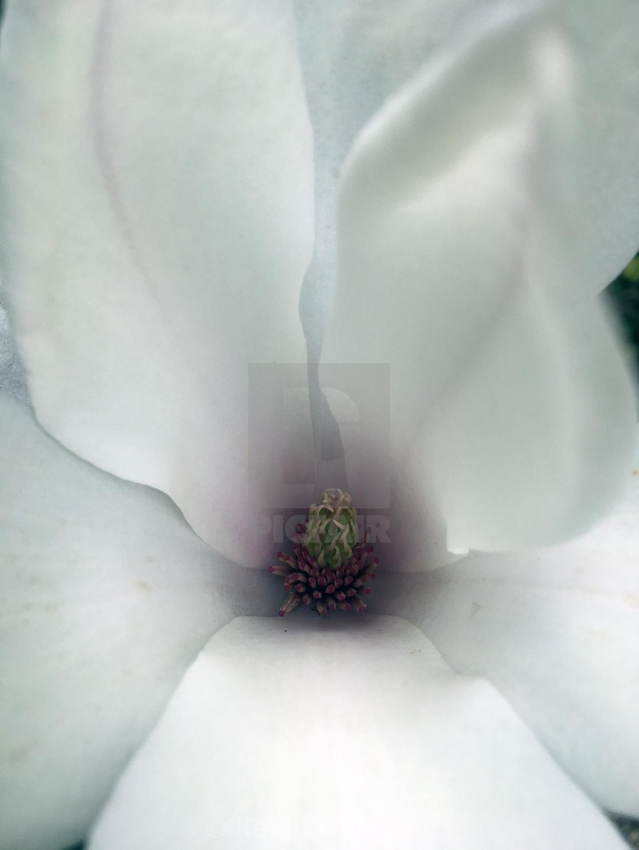 """Magnolia flower close-up"" stock image"