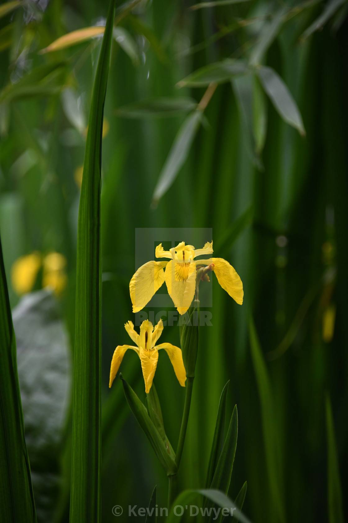 """Wetland Yellow Iris"" stock image"