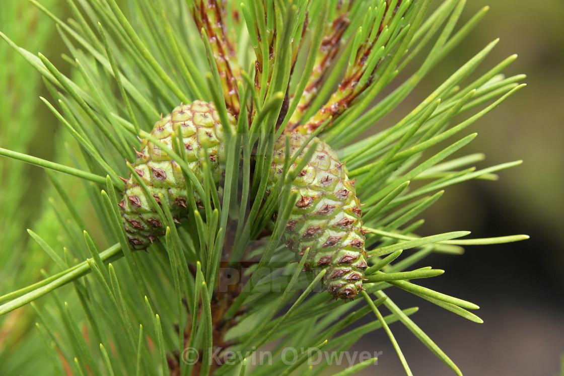 """Pine cone close-up"" stock image"