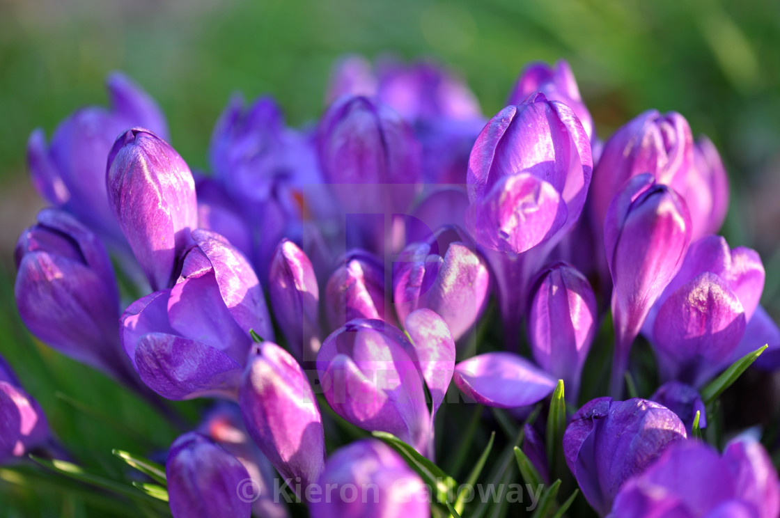 """Crocus clump forest floor"" stock image"