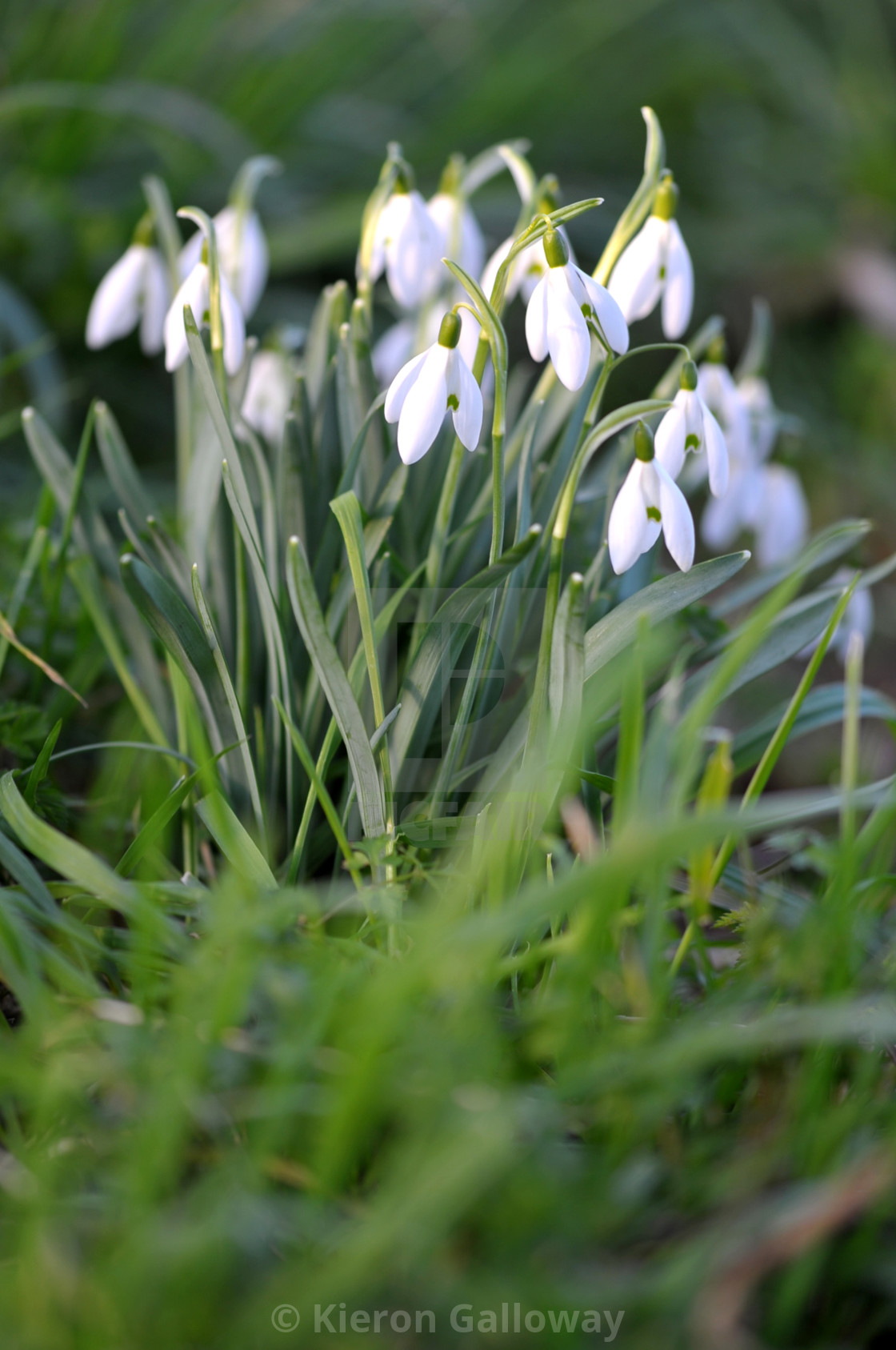 """""""Snowdrop clump forest floor"""" stock image"""