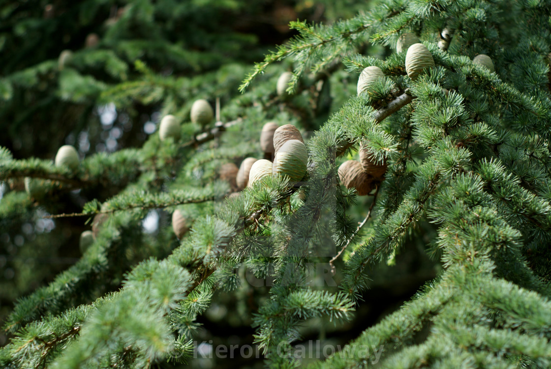 """Pine Conifer Canopy, Hampshire UK"" stock image"