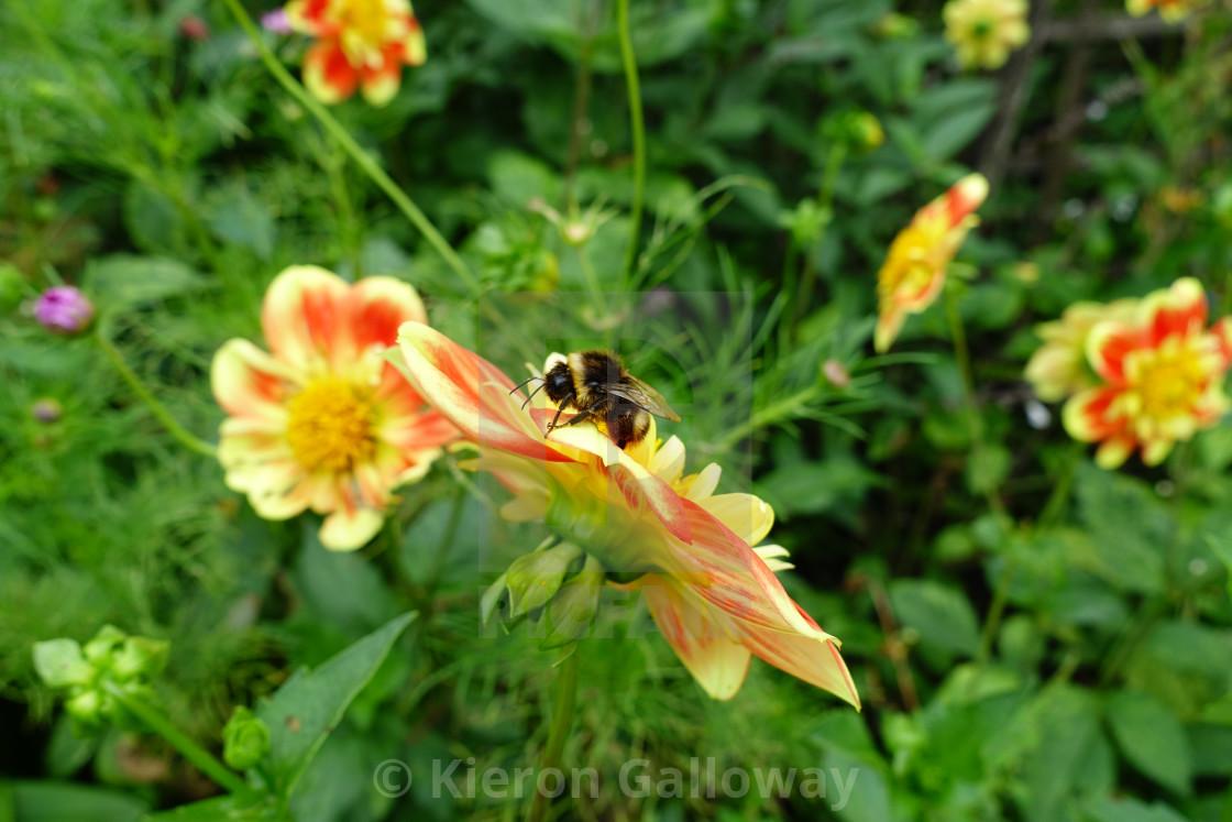"""Summer Bumble Bee, UK Garden"" stock image"