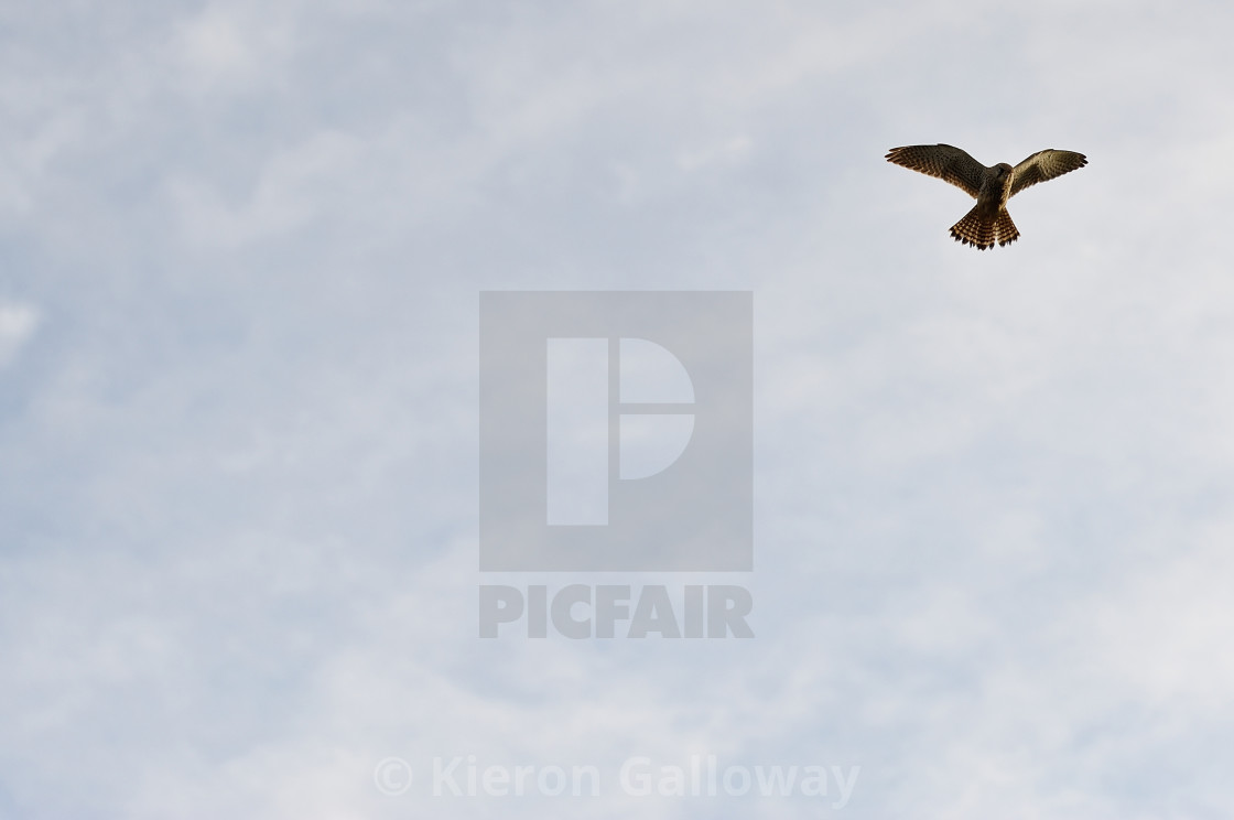 """Sparrow Hawk hovering ready for kill"" stock image"