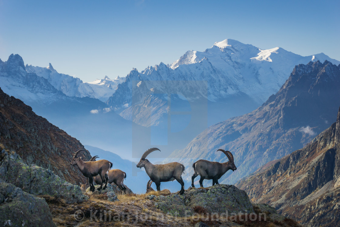 """""""Bouquetins and Mont Blanc"""" stock image"""