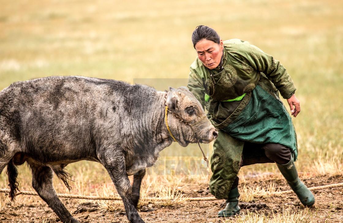 """""""Recalcitrant cow"""" stock image"""