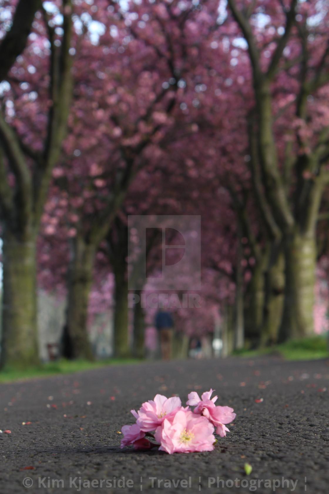 """Cherry Blossom Petals"" stock image"
