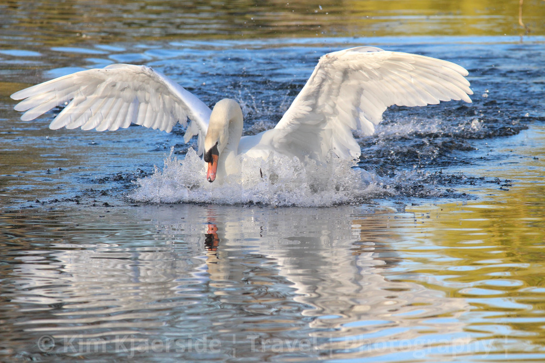 """""""Swan Reflections"""" stock image"""
