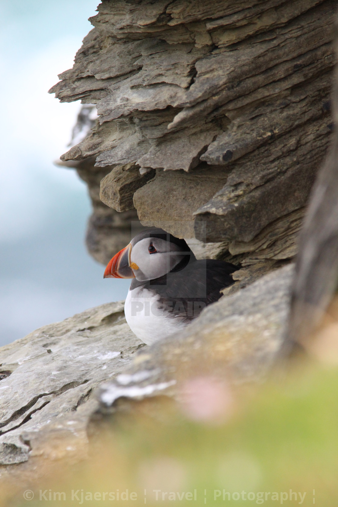 """""""Puffin in hiding"""" stock image"""