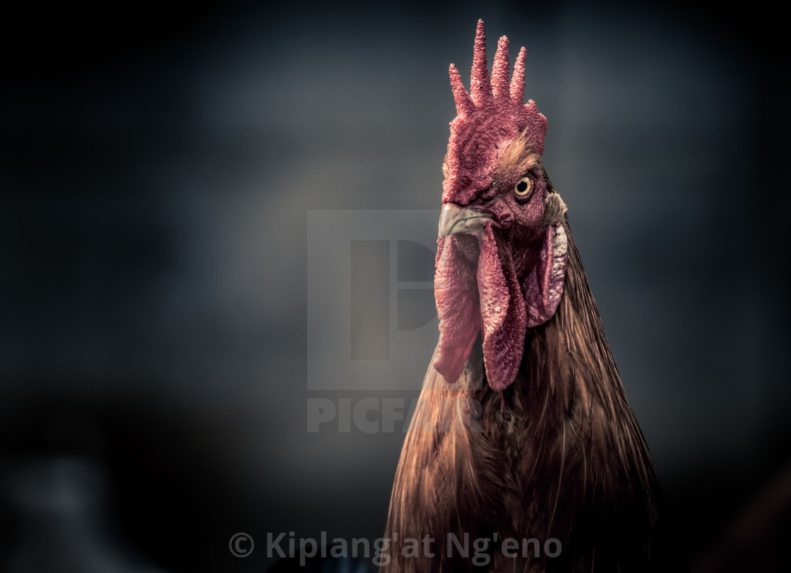 """""""An Angry Rooster"""" stock image"""