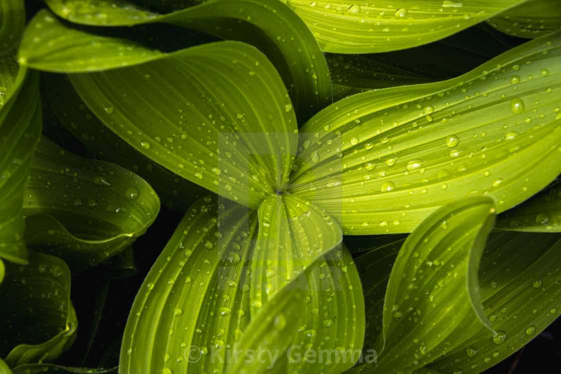 """Corn Lily"" stock image"