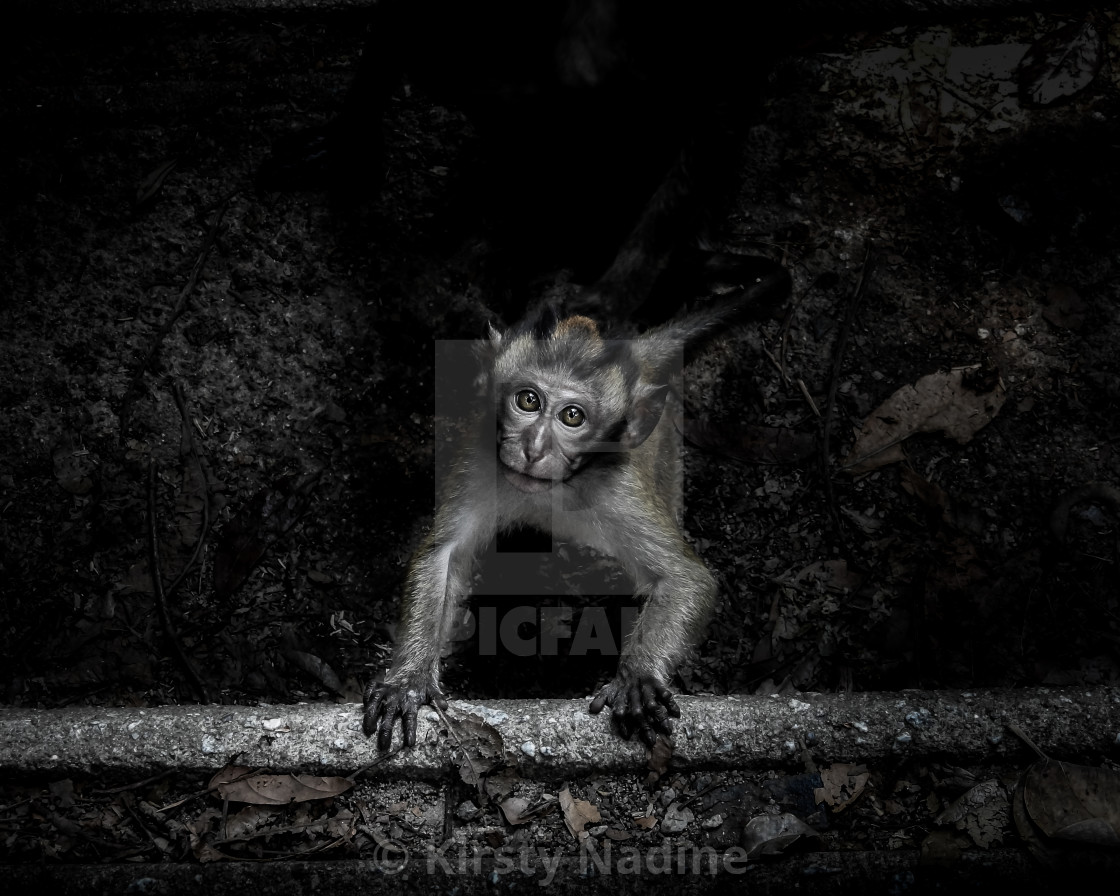 """""""Baby Long-tailed Macaque Climbing Step"""" stock image"""