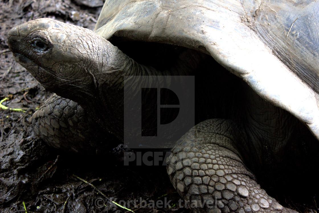 """A giant Aldabra tortoise on La Digue Island, The Seychelles"" stock image"
