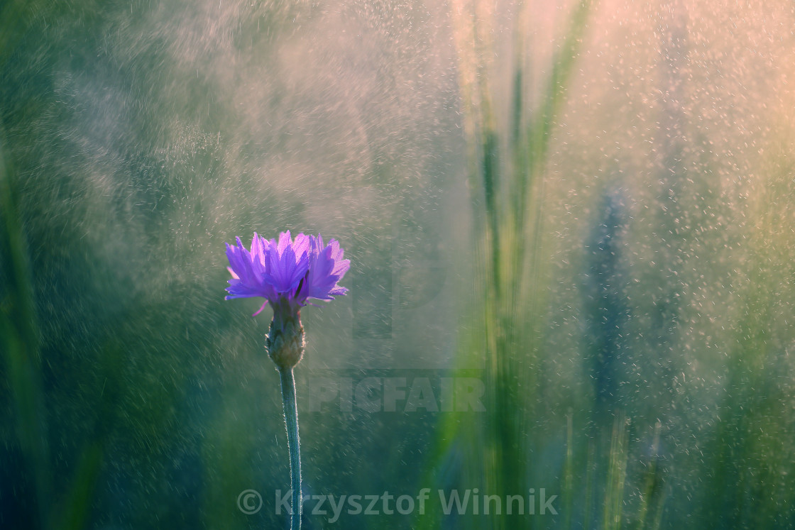"""""""Cornflower, a common flower growing in my garden, smells nice and looks"""" stock image"""