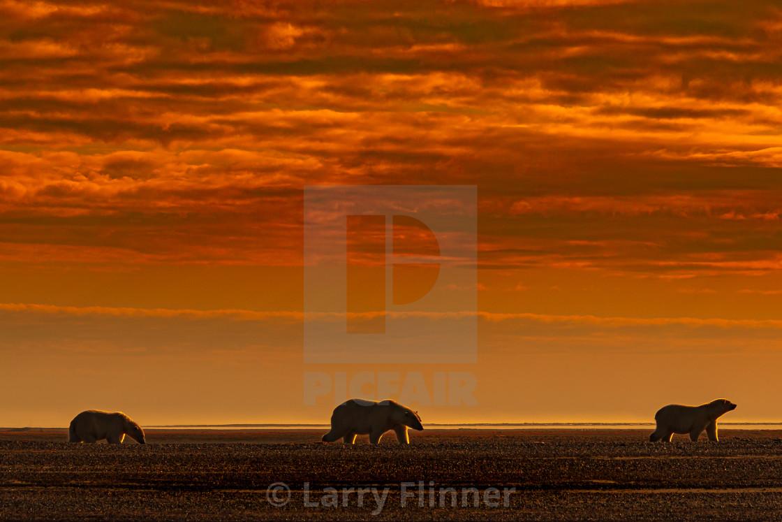 """Polar bear family walking the besch at sunset"" stock image"