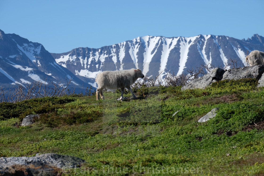 """""""Sheep in Greenland"""" stock image"""