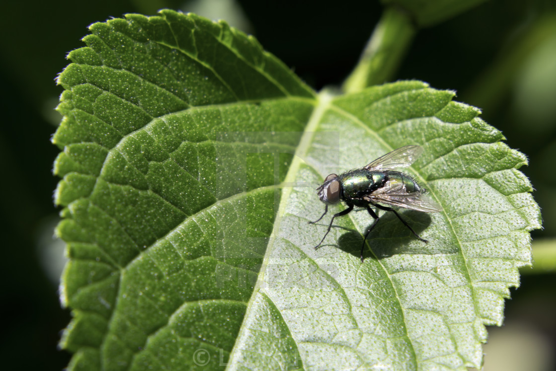 """Fly on Green Leaf"" stock image"