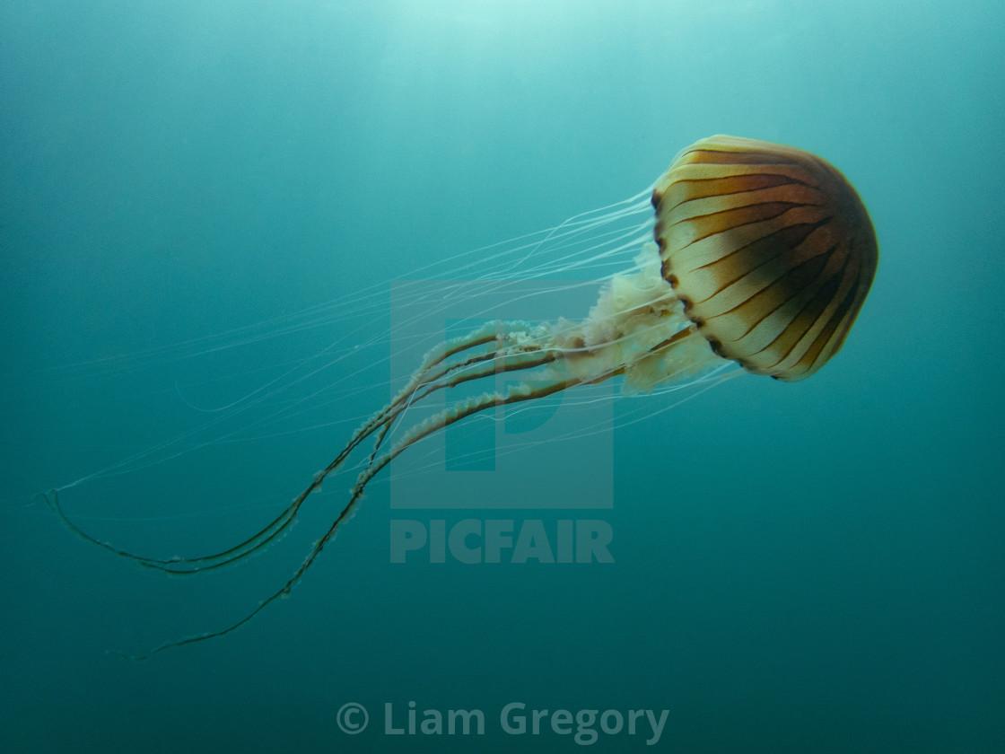 """Compass Jellyfish"" stock image"