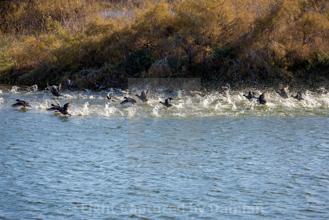 """Flock of ducks takes off in a spray of water"" stock image"